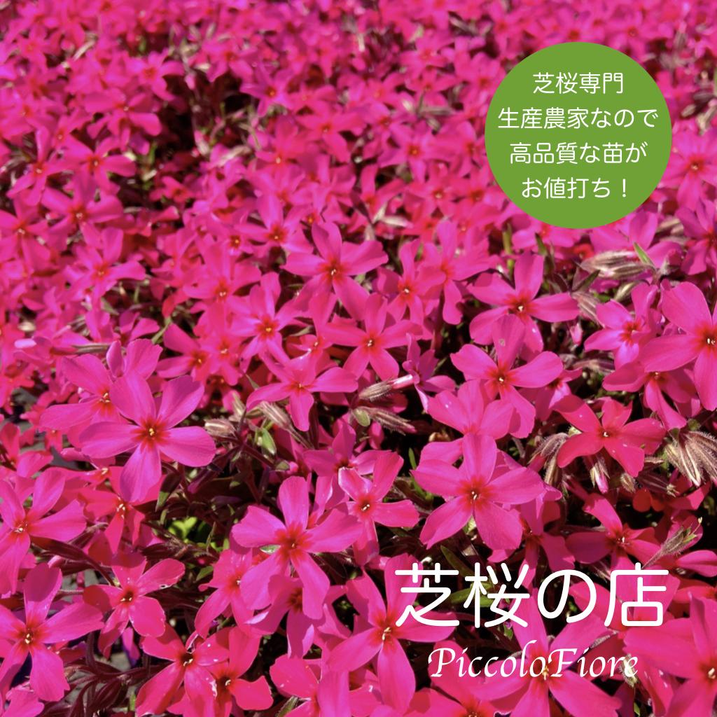 最近人気の真紅の花の芝桜 10株セットです 自家生産なので 激安特価品 安くて良いものをご提供できるよう 心がけております 10株セット 赤い花 9センチポット 芝桜 スカーレットフレイム 美品