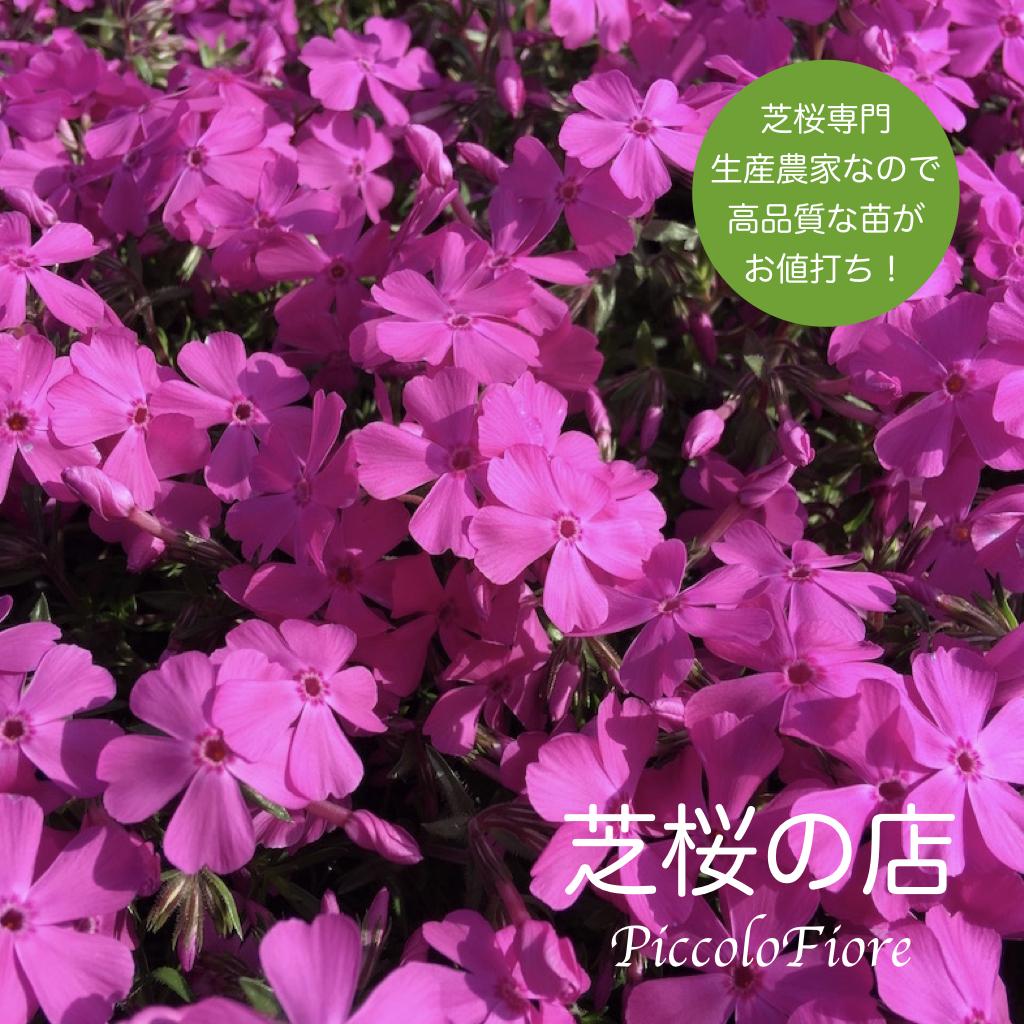 当店は芝桜専門生産農家なので 心を込めて育てた苗を お値打ちにご提供できるよう 心がけております 芝桜の花言葉は 希望 忍耐 今を耐え忍んで希望の未来へ 芝桜 シバザクラ 定価の67%OFF ダニエルクッション 40株 おすすめ 送料無料 鮮やかなピンク色 9センチ 植え付け 3号ポット 離島は別途必要になります 植栽 高品質 レビューを書いて芝桜に良い特典あり 最安値 適期 沖縄県 芝桜専門店なので ガーデニング