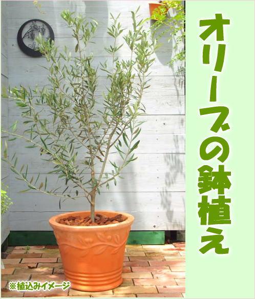 【送料無料】[ギフト●ご自宅用に]おしゃれなオリーブの鉢植え (テラコッタ鉢)オリーブの木