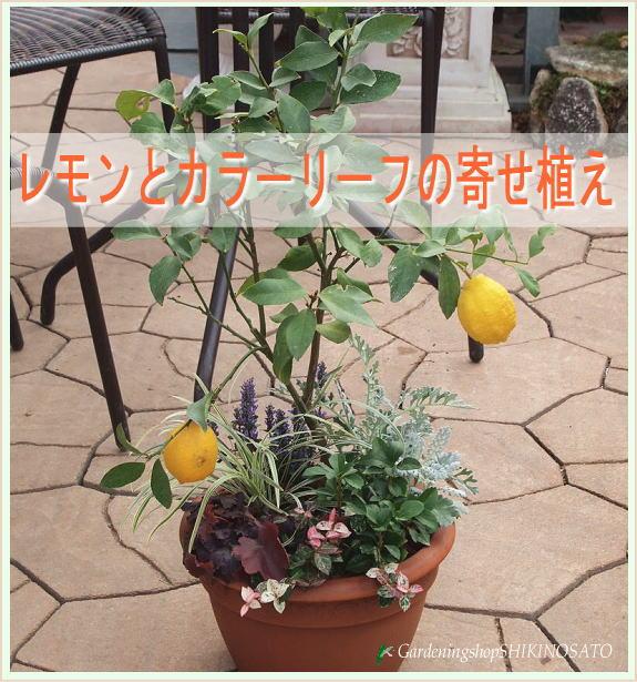 [ギフト●ご自宅用に]レモンとカラーリーフ寄せ植え