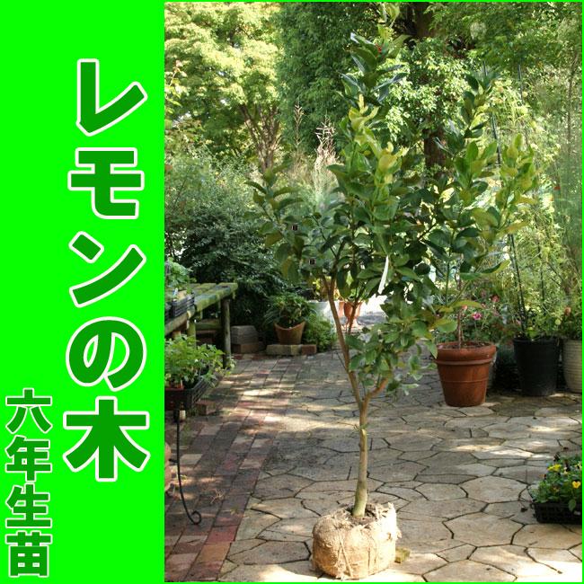 【販売開始しました】レモンの木/檸檬/れもん(樹高:1.2m内外)[6年生苗・大苗]