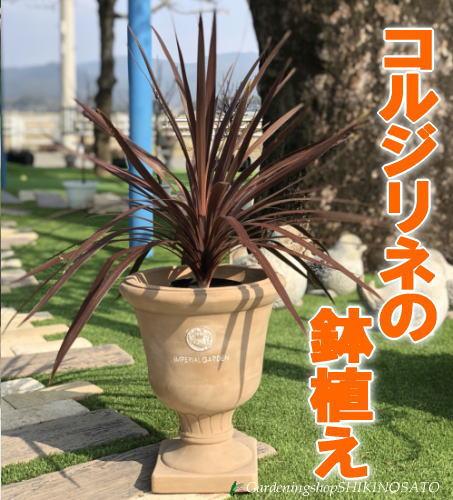 """【送料無料】360度どこから見てもかっこいい!!コルジリネ""""レッドスター""""の鉢植え"""