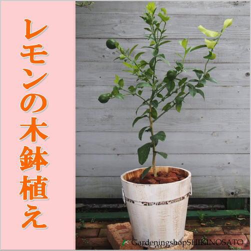 【送料無料】レモンの木鉢植え(ウッド鉢・白)