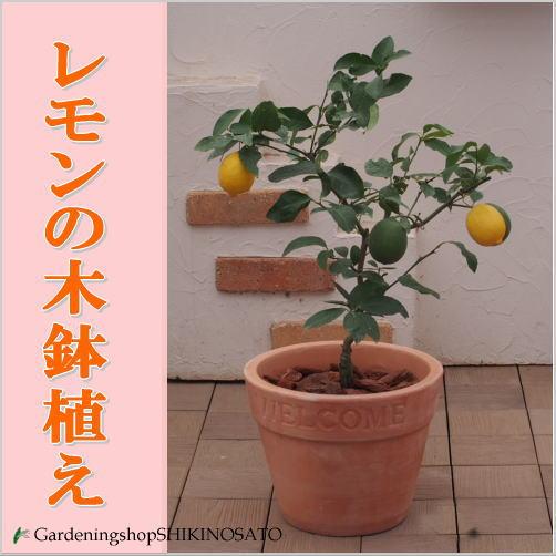 【送料無料】レモンの木鉢植え/レモン/檸檬(テラコッタ)