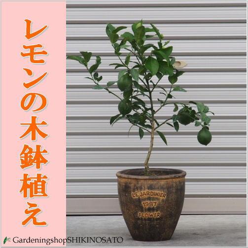 【送料無料】【ご自宅・贈り物に】レモンの木 鉢植えアンティーク調塗鉢・(全体高さ:1m内外)