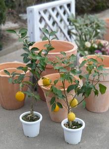 花は柑橘系の中で抜群にいい香りがする【レモンの木】2本セット【楽ギフ_メッセ】【楽ギフ_メッセ入力】2019.7月現在、実付きでお届けします。