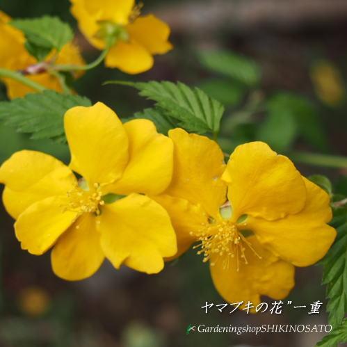 yamabuki(樹金額:1.1m內外)