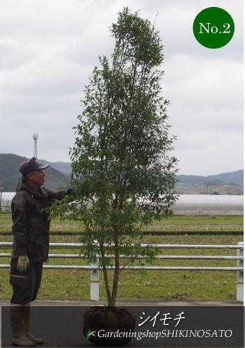 【珍しい樹木が入荷】シイモチ (樹高:2.5m内外)No22018.3月撮影