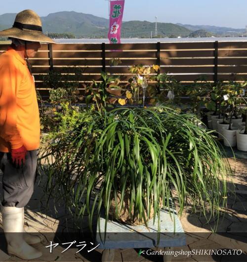 【送料無料】珍しい大苗ヤブラン (0.7m内外)2018.10月撮影