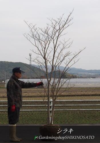 シラキ/白木 (樹高:2.7m内外)2019.1月撮影