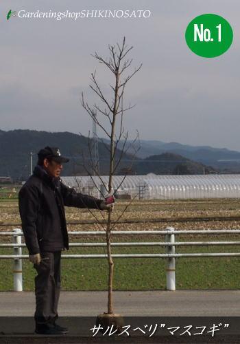 サルスベリ/百日紅マスコギー/マスコギ 花色:ピンク(樹高:2.5m内外)No12019.1月撮影