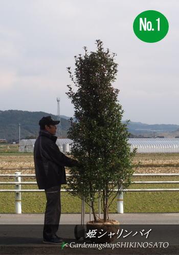 庭木・シンボルツリー・目隠しに最適ヒメシャリンバイ/姫シャリンバイ (樹高:2.3m内外)No1、22019.2月撮影