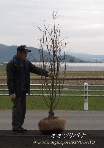 【大きな実に圧巻】オオツリバナ(大実)(樹高:2.0m内外)2019.2月撮影