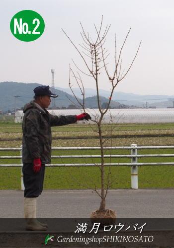 満月蝋梅/ロウバイ (樹高:2m内外)No22019.2月撮影