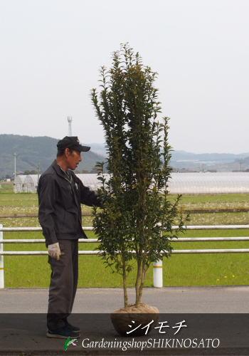 【珍しい樹木が入荷】シイモチ (樹高:2.1m内外)2019.3月撮影