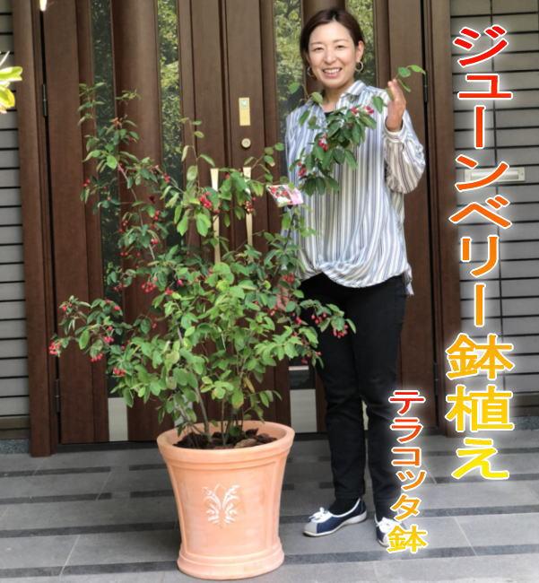 【送料無料】ジューンベリー/ジュンベリーの鉢植え テラコッタ鉢(全体高さ:1.4~1.5m内外)2019.5月撮影