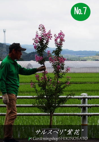 サルスベリ(百日紅)(樹高:1.6~1.7m内外)花色:紫、ピンク 2019.7月撮影