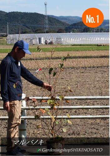 【送料無料】マルバノキ/ 丸葉木 (樹高1.2m内外)No1、22019.10月撮影