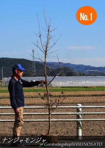 【送料無料】ナンジャモンジャノキ/ヒトツバタゴ(樹高:2.5m内外)2019.11月撮影