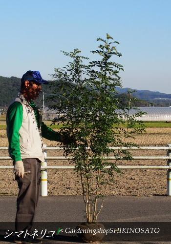 【送料無料】シマトネリコ(樹高:1.7m内外)2019.11月撮影