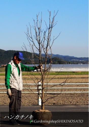 【珍しい樹木】ハンカチノキ/ハトノキ(2.5m内外)2019.11月撮影