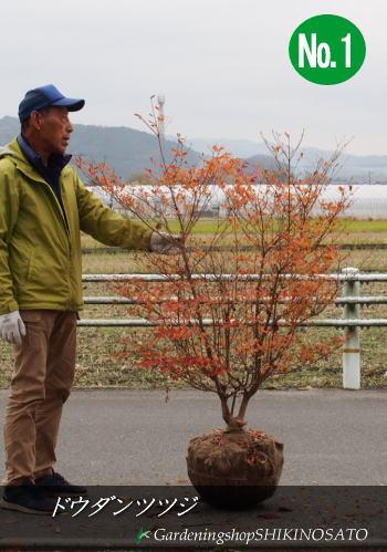【送料無料】【スズランの様な花】ドウダンツツジ (樹高:1.2m内外)No12019.11月撮影