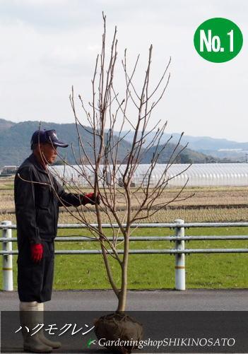 ハクモクレン /木蓮/白木蓮 (樹高:2m内外)2020.1月撮影