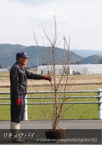 【送料無料】リキュウバイ(利休梅・利久梅)(樹高:2.3m内外)2020.1月撮影