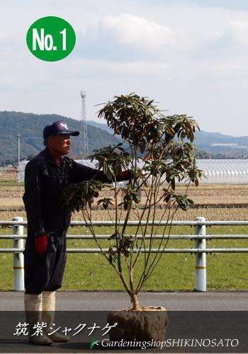 2020年、1月現在・花芽付き筑紫シャクナゲ(和シャクナゲ/日本シャクナゲ)(樹高:1.4m内外)2020.1月撮影