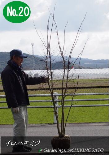 イロハモミジ/紅葉/もみじ (樹高:2.3m内外)2018.5月