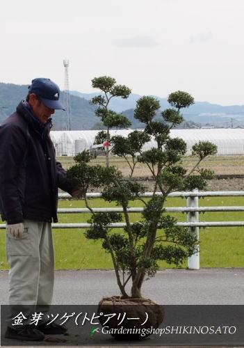【珍しい樹形】キンメイツゲ(キンメツゲ/金芽ツゲ/つげ)トピアリー(樹高:1.4m内外)2020.2月撮影