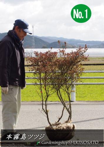 【送料無料】本霧島・ホンキリシマツツジ(樹高:1.1m内外)2020.1月撮影