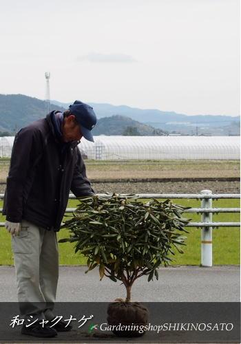 2/15花芽付和シャクナゲ/ツクシシャクナゲ(日本石楠花)(樹高:0.7m内外)2020.2月撮影
