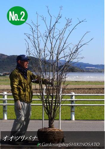 【大きな実に圧巻】オオツリバナ(大実)(樹高:2.2m内外)2020.2月撮影