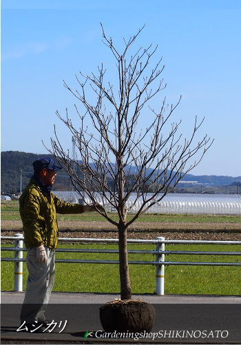 ムシカリ/オオカメノキ(樹高:2.6m内外)2020.2月撮影