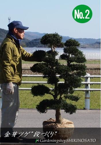 【美しい枝づくり】キンメイツゲ(キンメツゲ/金芽ツゲ)枝づくり、段づくり(樹高:1.3m内外)2020.2月撮影