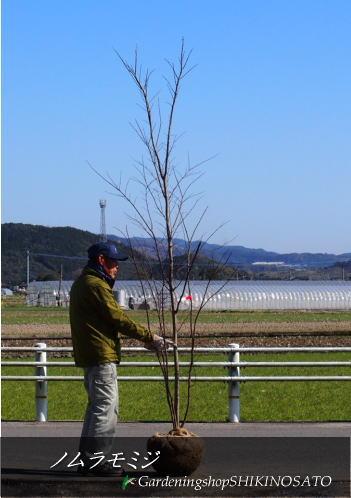 ノムラモミジ/野村紅葉(樹高:2.6m内外)2020.2月撮影