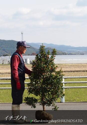 【送料無料】イチゴの木/イチゴノキ/ストロベリーツリー(樹高:1.5m内外)2018.3月撮影