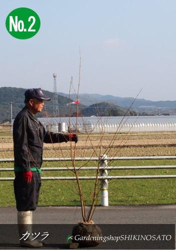 カツラ /桂(樹高:1.9m内外)No22019.12月撮影