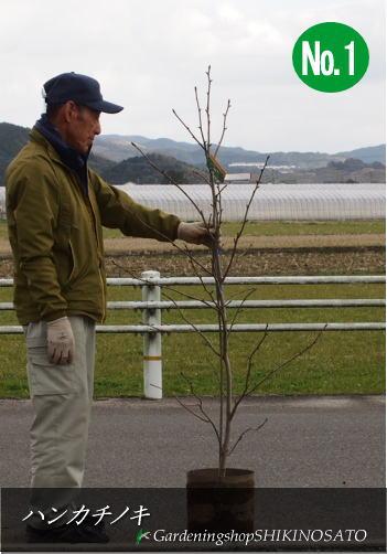 【珍しい樹】ハンカチノキ/ハトノキ(2.0m内外)【選択肢あり】
