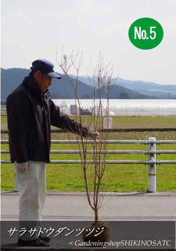 【送料無料】サラサドウダンツツジ(更紗灯台躑躅)(樹高:1.4m内外)No5,6,72020.3月撮影