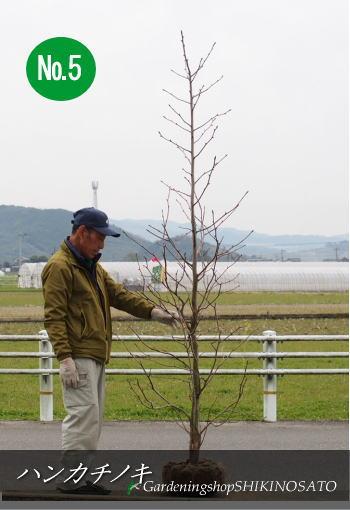 【珍しい樹木】ハンカチノキ/ハトノキ(2.6m内外)2020.3月撮影