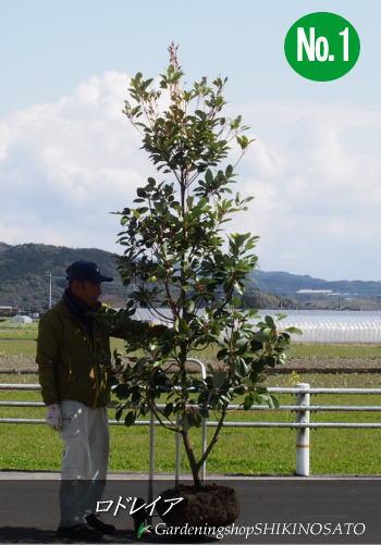 【送料無料】シンボルツリーにロドレイア/ロドレイヤ(シャクナゲモドキ)(樹高:2.6m内外)2020.3月撮影