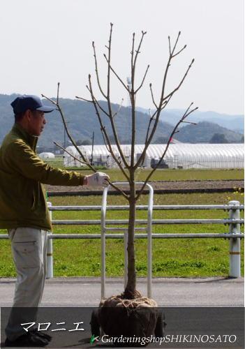 【送料無料】マロニエ/トチノキ/栃の木(樹高:1.8m内外)2020.3月撮影