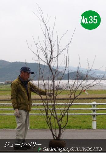 """ジューンベリー/ジュンベリー""""ラマルキー""""(樹高:2.5m内外)No35、372020.3月撮影"""