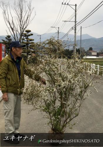 ユキヤナギ/雪柳(樹高:1.4m内外)2020.3月撮影