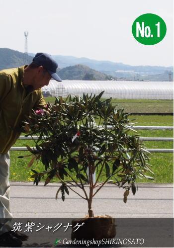 2020.3月現在、花芽付き筑紫シャクナゲ(和シャクナゲ/日本シャクナゲ)(樹高:1m内外)2020.3月撮影