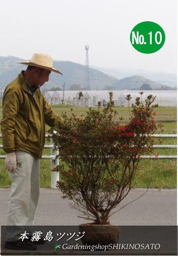 【送料無料】本霧島・ホンキリシマツツジ(樹高:1.0m内外)No10.112020.4月撮影