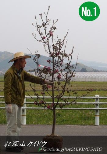 深山紅カイドウ/紅深山カイドウ/ミヤマカイドウ(樹高:2.2m内外)2020.4月撮影
