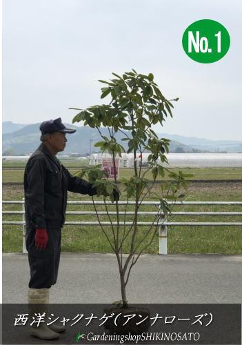 【送料無料】西洋シャクナゲ・しゃくなげ(石楠花)(品種:アンナローズ)(樹高:1.7m内外)2020.4月撮影
